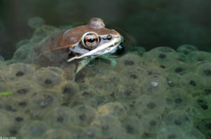 Wood frog with egg mass