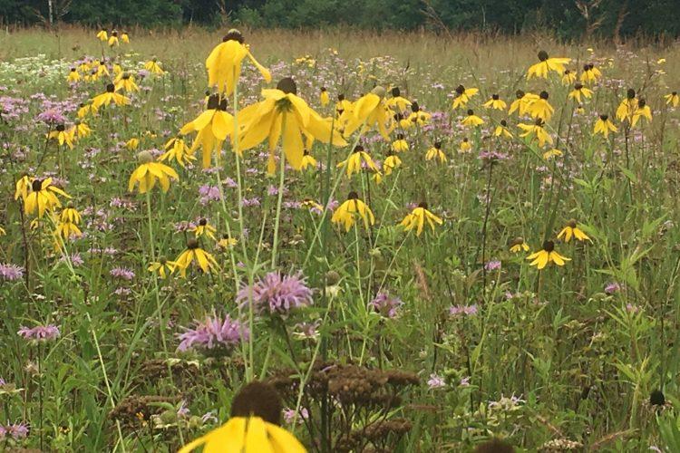 Prairie field of Black-eyed Susans