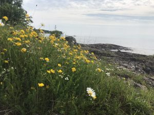 Invasive plants along Lake Superior