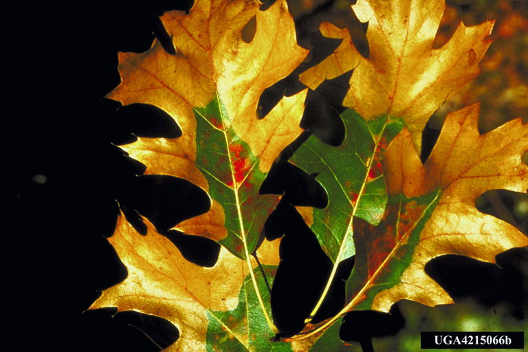 Leaves with oak wilt
