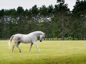 Resident horse, Lipizzaner breed