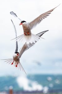 Pair of Common Terns hovering