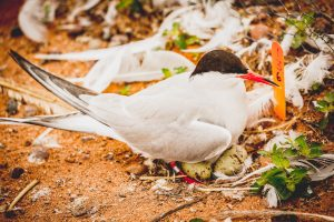 Common Tern with her eggs