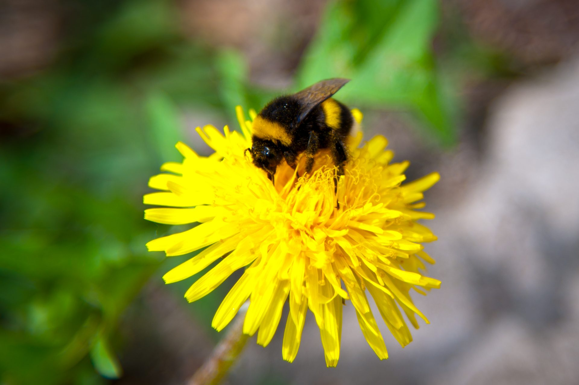 Rusty-patched bumblebee on a dandelion
