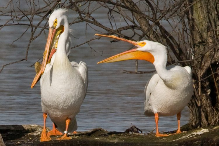 Two pelicans sunning themselves on the shoreline