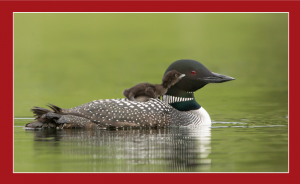 Baby loon riding on its parents back while in the water