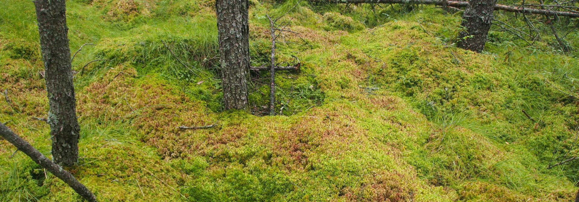 Bog with Sphagnum moss